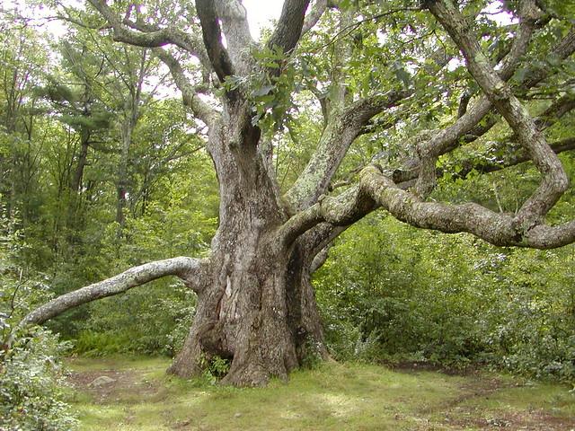 Big Oak, by Qfamily