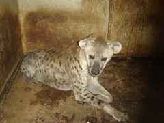 pet(0.0), animal(1.0), mammal(1.0), hyena(1.0), fauna(1.0),