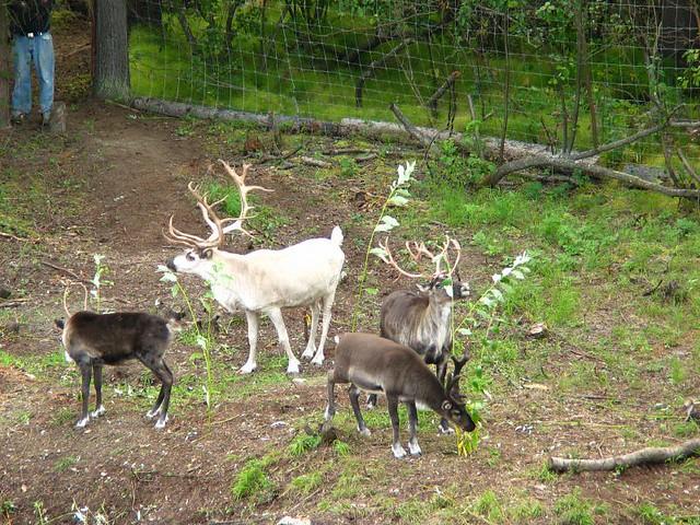 Domestic) reindeer | Flickr - Photo Sharing!