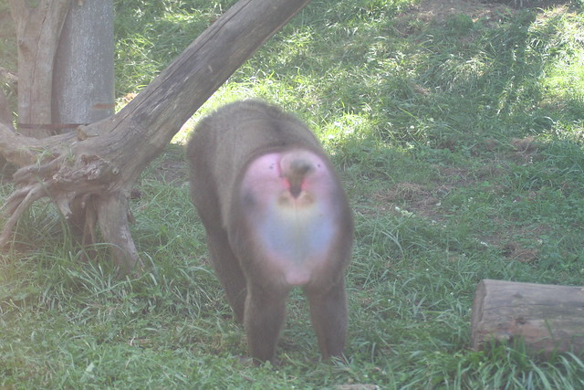 A Baboon's Bum baboon butt | Flickr -...