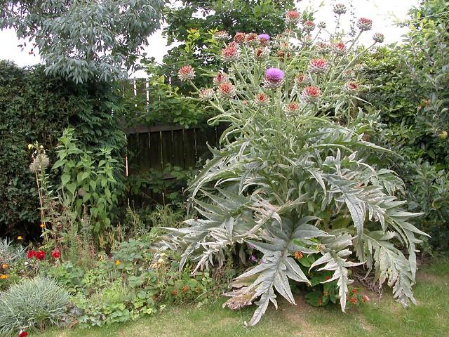 Giant ornamental artichoke plant flickr photo sharing for Ornamental vegetable plants