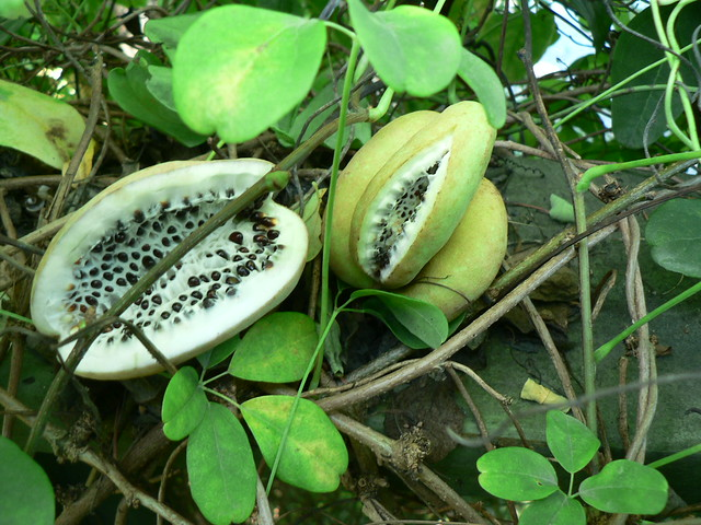 Akebia fruit  The greyer larger ones with black seeds are the tastiest. Scoop out the pulp and seeds with a spoon