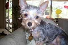 cairn terrier(0.0), dog breed(1.0), animal(1.0), dog(1.0), schnoodle(1.0), pet(1.0), australian silky terrier(1.0), vulnerable native breeds(1.0), biewer terrier(1.0), norwich terrier(1.0), morkie(1.0), australian terrier(1.0), carnivoran(1.0), yorkshire terrier(1.0), terrier(1.0),