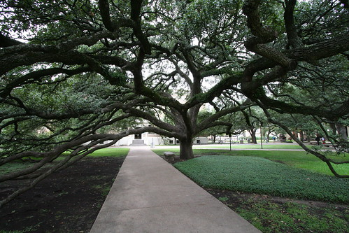 Century Tree at Texas A&M