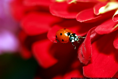 ladybug traversing zinnia petals    MG 2752