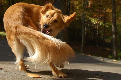 golden retriever chasing his tail