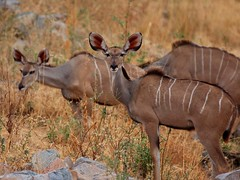 deer(0.0), hartebeest(0.0), common eland(0.0), white-tailed deer(0.0), pronghorn(0.0), impala(0.0), animal(1.0), antelope(1.0), mammal(1.0), fauna(1.0), kudu(1.0), bongo(1.0), wildlife(1.0),