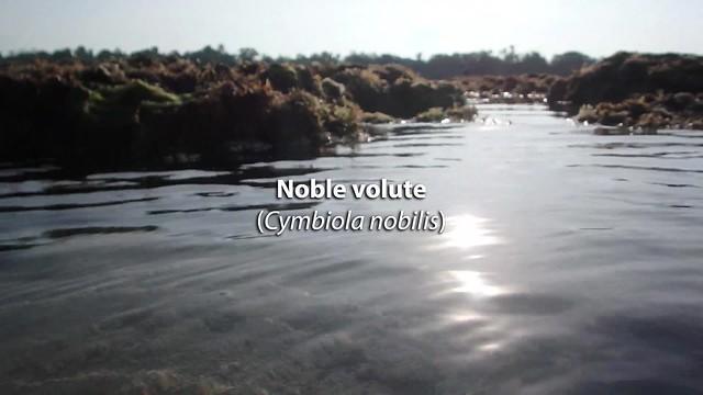 Noble volute (Cymbiola nobilis)