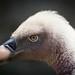Vulture - Aasvoël