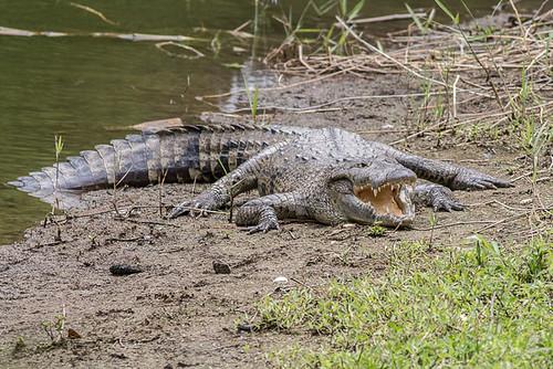 alligator or crocodile ?