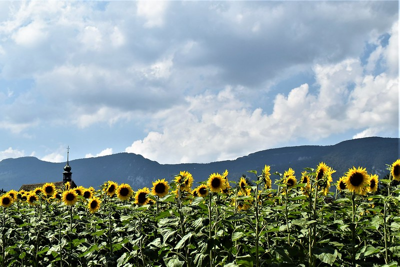 Sunflowers30.06 (1)