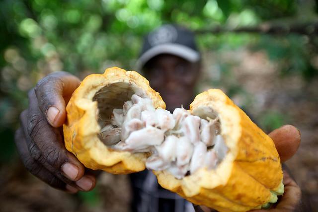 Produtor de cacau abre fruto em plantação de Medicilândia, no Pará - Créditos: Foto: Sidney Oliveira
