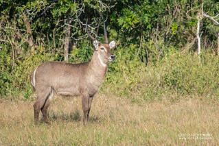 Waterbuck (Kobus ellipsiprymnus) - DSC_5447
