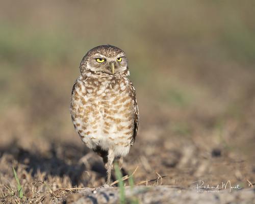Cheveche des terriers / Burrowing Owl