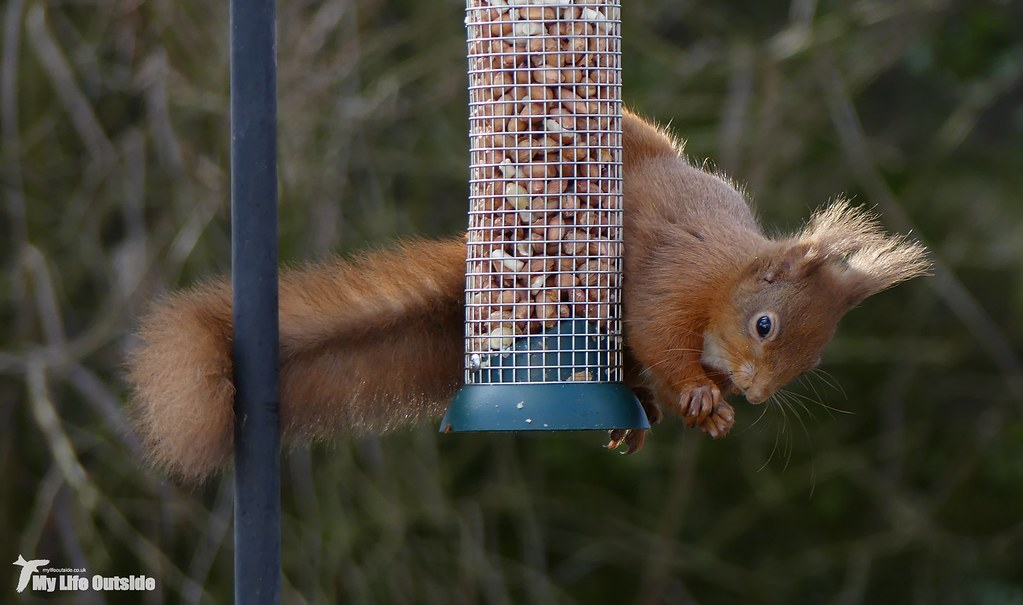 P1140085 - Red Squirrel
