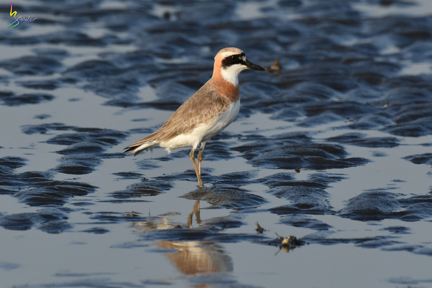 Greater_Sand_Plover_2053