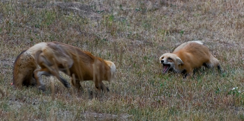 A pair of Wasatch mountain foxes (V. v. macroura) squabbling in Marshdale, Colorado. Photo taken on October 3, 2010.