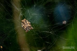 Tent web spider (Cyrtophora citricola) - DSC_4109