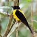 Black-throated Shrike-Tanager por rolando chdm