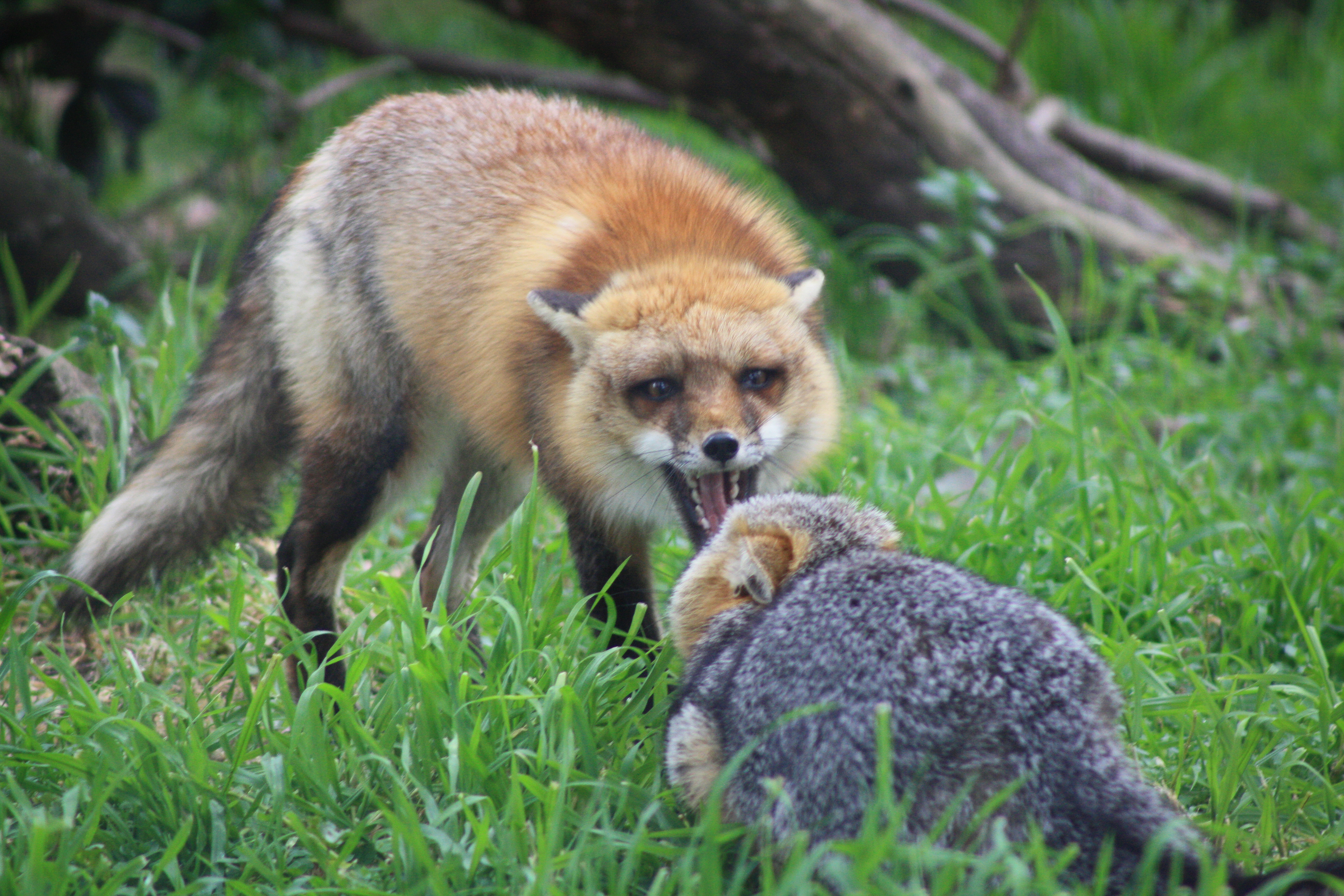 Red fox confronting grey fox, San Joaquin National Wildlife Refuge. Photo taken on March 5, 2013.