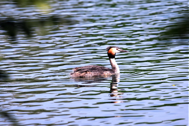 Duck - Grebe 02.07 (4)