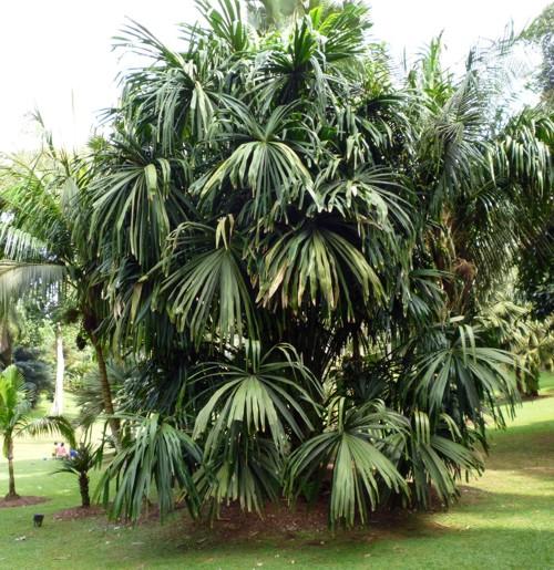 Borassodendron machadonis 42449183054_03615f4447_o