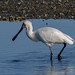 Spoonbill  0659 by stan sutton