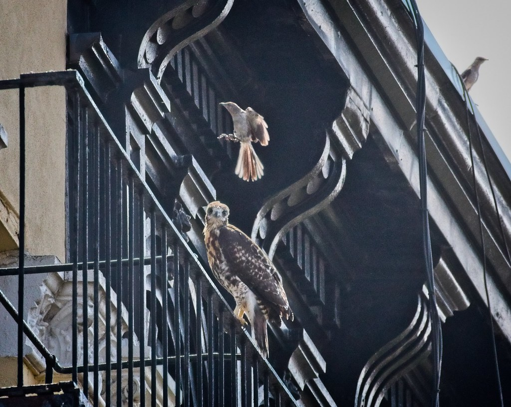 Tompkins fledgling A2 is entertained by a mockingbird