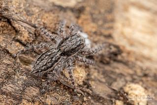 Jumping spider (Menemerus zimbabwensis) - DSC_4896