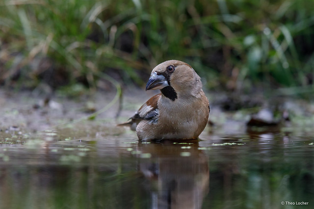 Hawfinch - Appelvink - Coccothraustes coccothraustes -7176
