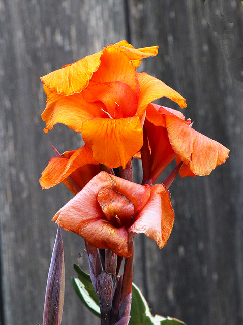 Canna Lily's