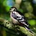 Woodpecker Watchtree Nature Reserve F00294 D210bob  DSC_3812