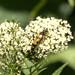 Spotted Longhorn beetle (Rutpela maculata)