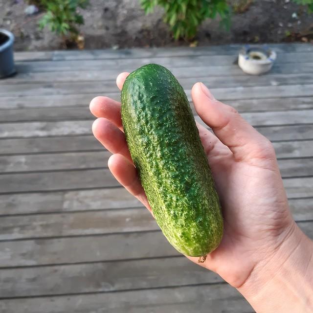 Årets första gurka