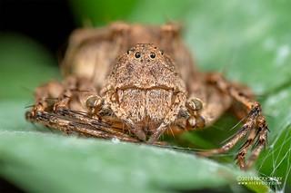 Lynx spider (Hamataliwa sp.) - DSC_5328
