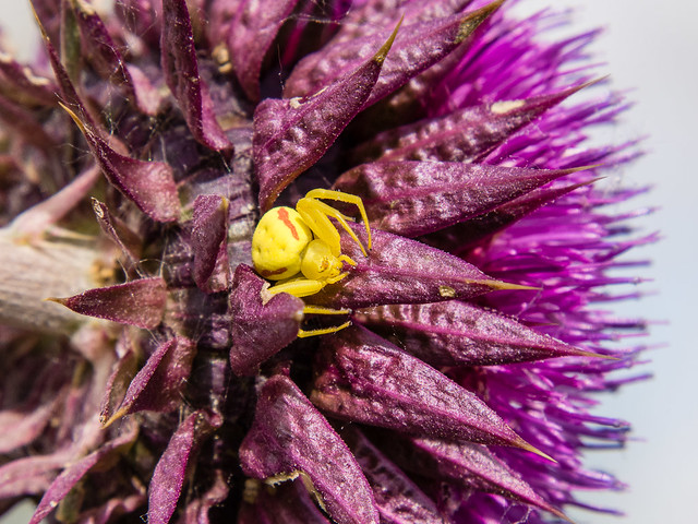 crab spider on thistle