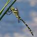 Golden-ring (Cordulegaster boltonii) ♂.