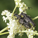 Large Black Longhorn Beetles - Stictoleptura scutellata