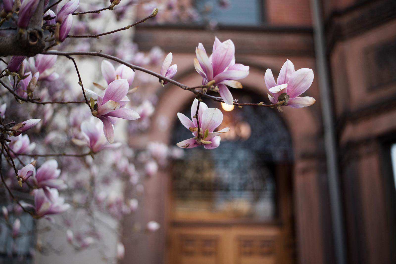 Boston Brownstones and Magnolias