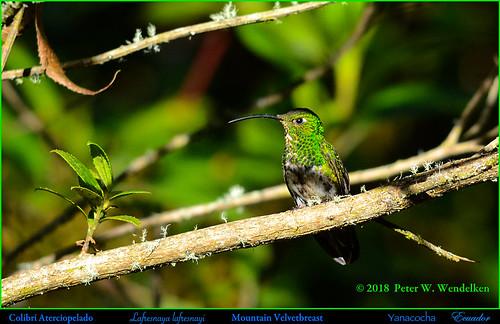 mountainvelvetbreast mountainvelvetbreastatyanacocha mountainvelvetbreastinecuador hummingbird colibríaterciopelado colibrí picaflor chupaflor lafresnayalafresnayi trochilidae ecuadorhummingbirds southamericanhummingbirds ecuadorbirds southamericanbirds neotropicalbirds yanacochabirds yanacochahummingbirds yanacochareserve reservayanacocha volcánpichincha pichinchaprovince quito ecuador photobypeterwendelken peterwendelken ngc coth5 npc