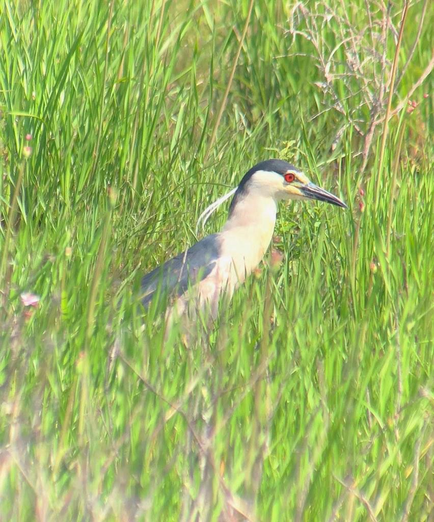 Black-crowned Night-Heron - Point Mou