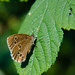 Ringlet butterfly in light and shade