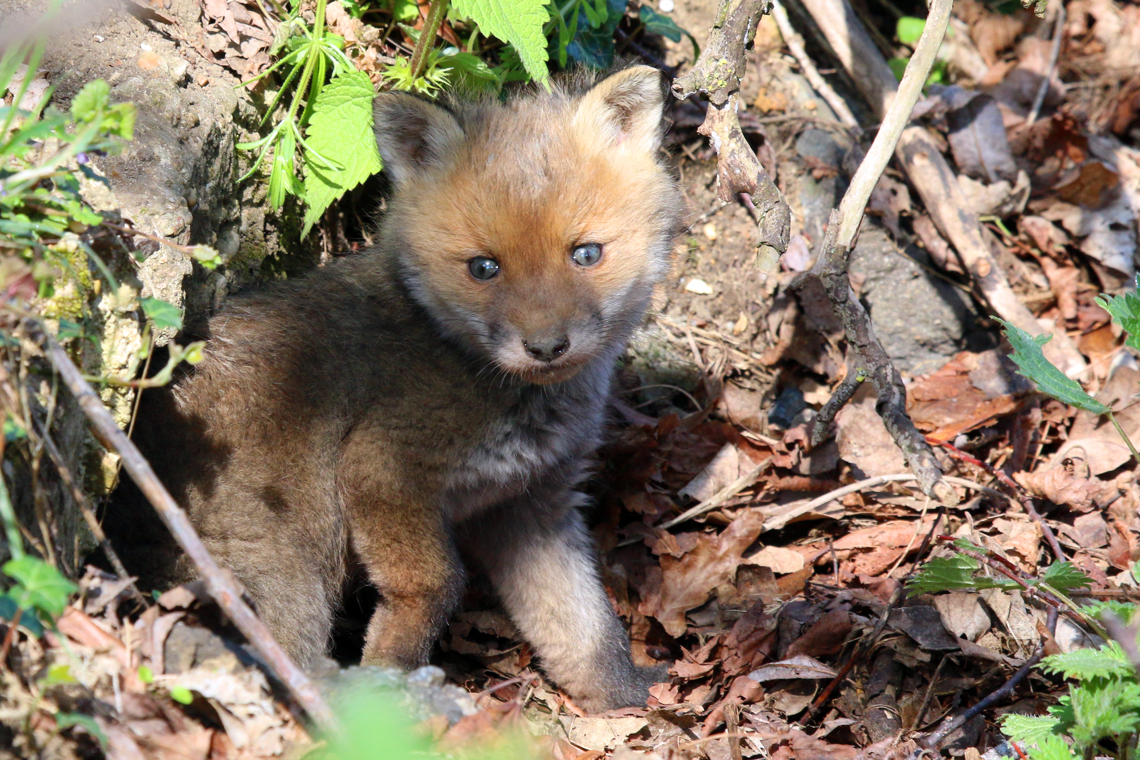 Red fox kit (Vulpes vulpes) emerging from a burrow, North Abingdon, Oxfordshire. Photo taken on April 10, 2014.
