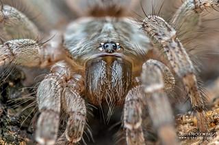 Curtain-web spider (Dipluridae) - DSC_4971b