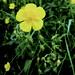 20180611 Buttercup Flowers Nobury Inkberrow Worcestershire
