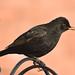 Blackbird F00271 D210bob DSC_3343