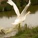 Swan at liftoff