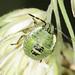 Common Green Shieldbug 3rd Instar Nymph