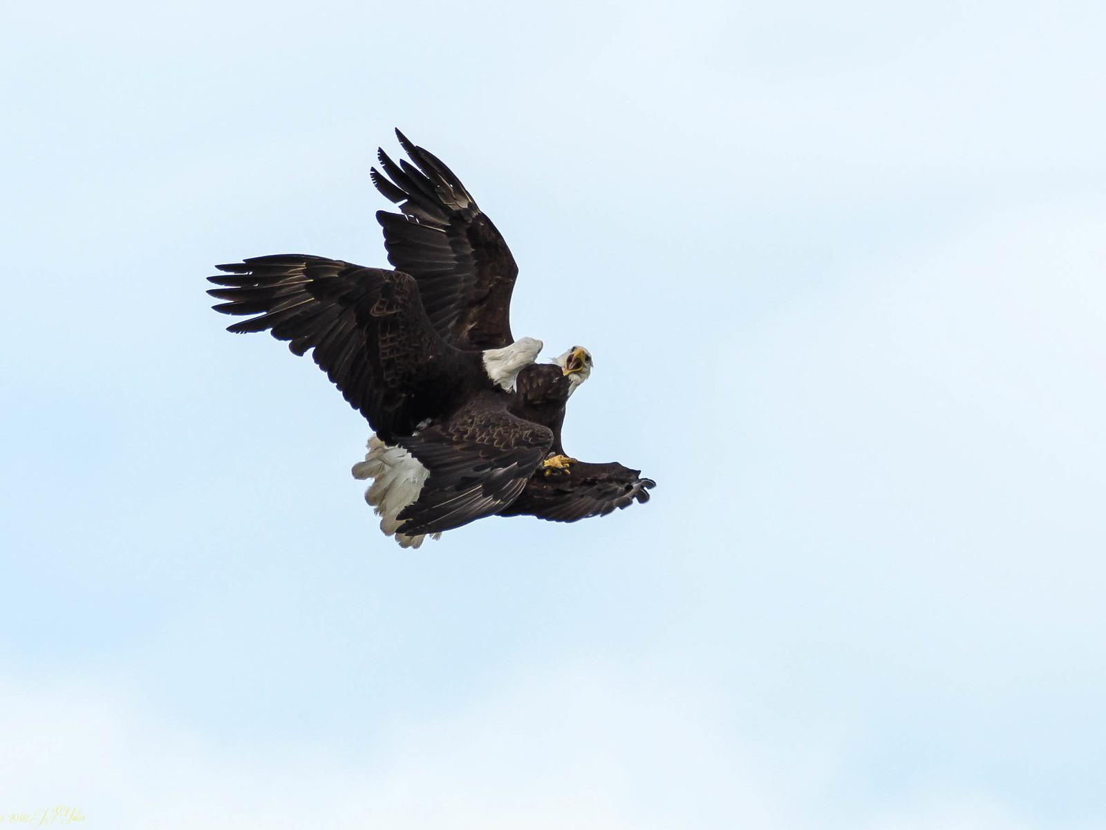 Bald Eagle Dance-2.jpg