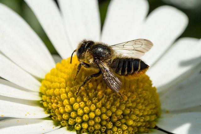 Bee - Megachile centuncularis (20180605_1), Canon EOS 700D, Tamron 90mm f/2.8